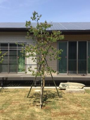 植木工事 造園 芝生 目土 さいたま市 ジューンベリー単木