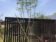 アオダモ株 植木 造園 ガーデン